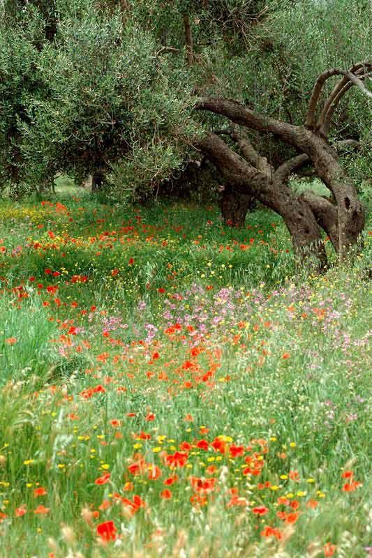 Bildheizung-Motiv Olivenbaum für Standard Infrarotheizung